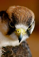 Little Falcon by Louise Fahy