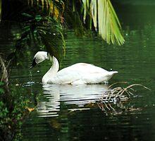 Trumpeter Swan by Donna Adamski