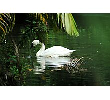 Trumpeter Swan Photographic Print