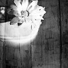 Daisy Bucket by -raggle-