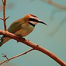 Bird with tortuous beak Merops ornatus by loiteke