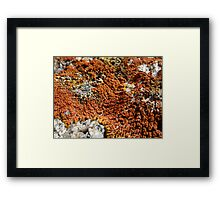 lichen. himalayas, india Framed Print
