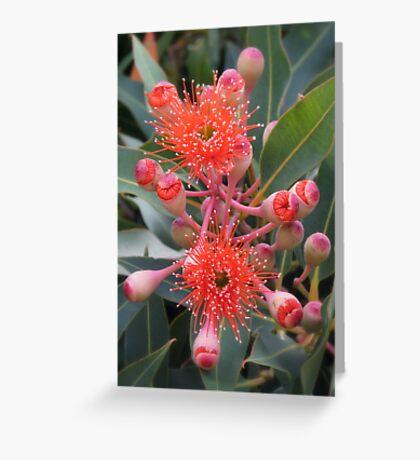 Starburst - Western Australian Flowering Gum Greeting Card