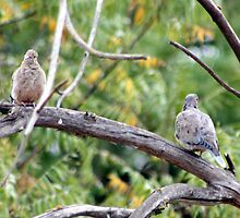 Two Mourning Doves by Laurie Puglia