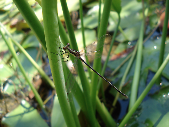 Swamp Spreadwing by May Lattanzio