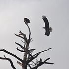 Bald Eagles Meet Up by meinvb