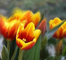 SWAYING TULIPS by pjm286