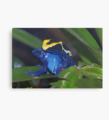 Dart Frogs Canvas Print