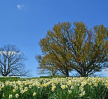 A Field of Daffodils by cclaude