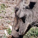 Warthog, Chobe National Park, Botswana, Africa by Adrian Paul