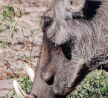 Warthog, Chobe National Park, Botswana, Africa by Adrian Paul