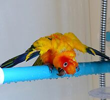 Sunshine Shower Time - Sun Conure - NZ by AndreaEL