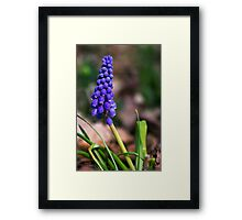 Grape Hyacinth Wildflower Framed Print