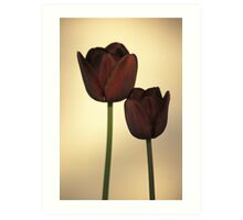 Queen of the Night Tulips Art Print