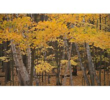 Autumn Birches Photographic Print