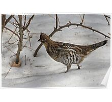 Ruffed Grouse Ready for Spring Poster