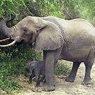 African Elephant & Calf #2 - Manyara Forest, Tanzania  Africa by Bev Pascoe