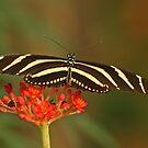 Zebra Longwing 2 by Robert Abraham