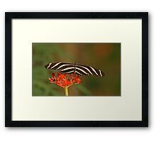 Zebra Longwing 2 Framed Print