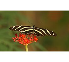 Zebra Longwing 2 Photographic Print