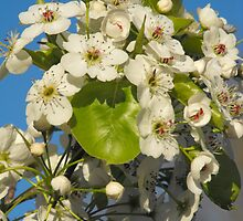 Apple Tree In Bloom by Tracy Faught