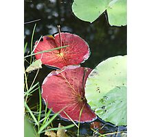 Waterlily Parasols Photographic Print
