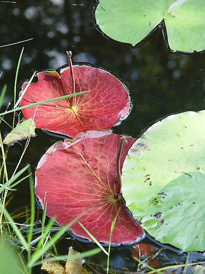 Waterlily Parasols by May Lattanzio