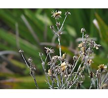 Dried weeds  Photographic Print