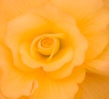 Yellow Begonia by Fraser Ross