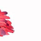 Red Gerbera by -raggle-