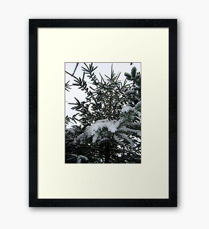 Snowy Doug Fir Framed Print