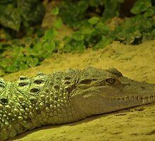 Alligator by Franco De Luca Calce