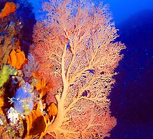 Gorgonian Fan by Jamie Kiddle