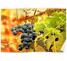 Grape Vines in Autumn Poster