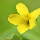 Wild Yellow Violet II by Kathleen Daley