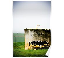 Cows on dairy farm Poster