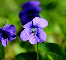 Common Blue Violet  by Kathleen Daley