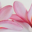 Pink Frangipani by AnnieD