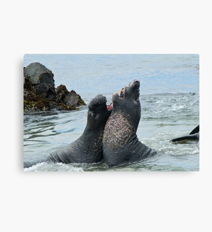 Elephant seals sparing on the beach Canvas Print