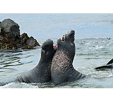 Elephant seals sparing on the beach Photographic Print