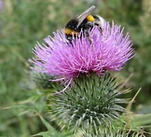 bumble bee on a thistle by sueblue