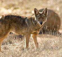 Coyote by David Jones