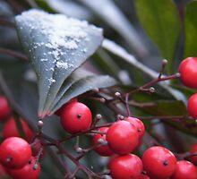 snow on the holly by budrfli