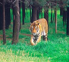 Tiger in the grass by Yanni