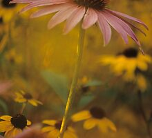 Coneflower and Black-eyed Susans by mklue