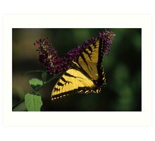 Eastern Swallowtail on Purple Butterfly Bush Art Print
