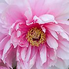 Peony by Janet Schaefer