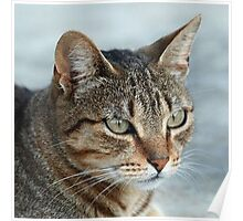 Stunning Tabby Cat Close Up Portrait Poster