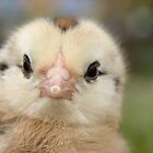 Baby Chick by Amanda Keaton