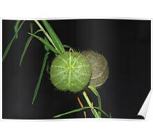 Seedpods Poster